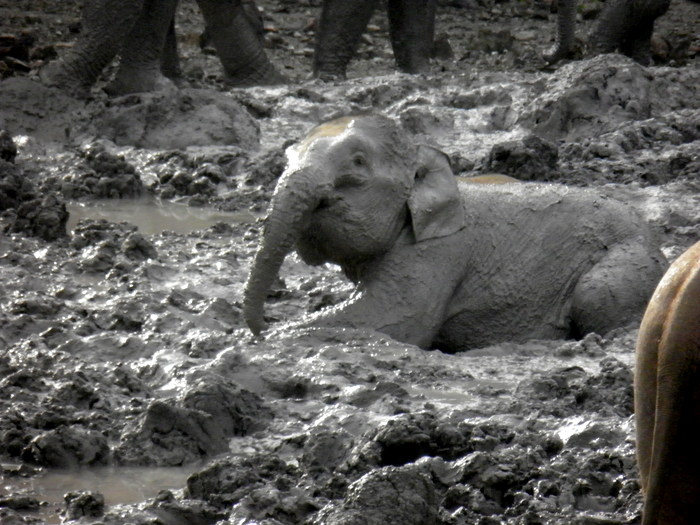 Baby Elephant playing in mud